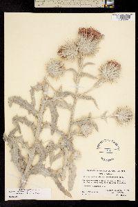 Image of Cirsium occidentale