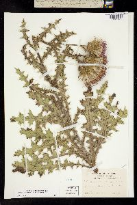Image of Cirsium pumilum