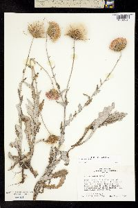Image of Cirsium texanum
