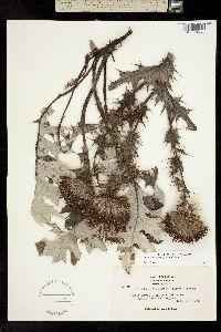 Image of Cirsium andrewsii