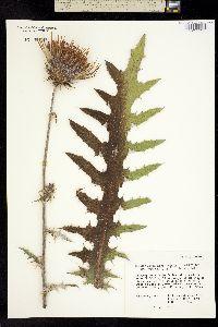 Cirsium anartiolepis image