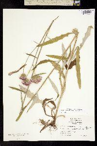 Image of Cirsium carolinianum
