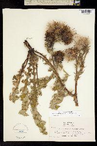 Image of Cirsium fontinale
