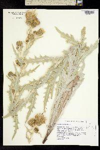 Image of Cirsium douglasii
