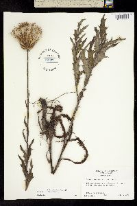 Image of Cirsium lecontei