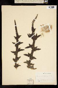 Image of Cirsium nuttallii