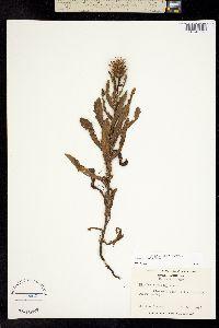 Image of Cirsium repandum