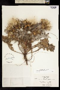 Image of Cirsium quercetorum