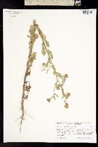 Conyza coronopifolia image