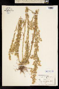 Conyza sophiaefolia image