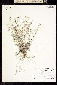 Image of Conyza filaginoides