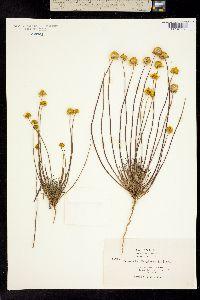 Coreopsis douglasii image