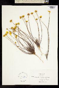 Image of Coreopsis douglasii