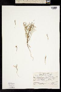 Image of Coreopsis gigantea