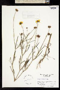 Image of Coreopsis grandiflora