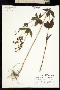 Image of Coreopsis major
