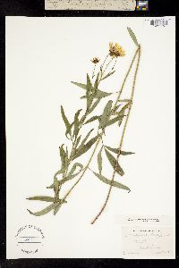 Image of Coreopsis tripteris