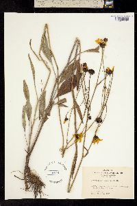 Image of Coreopsis gladiata