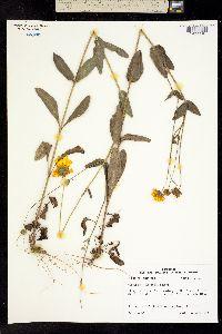Image of Coreopsis intermedia