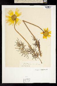 Image of Coreopsis maritima