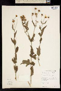 Image of Coreopsis rosea