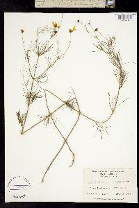 Image of Coreopsis verticillata