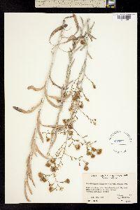 Image of Corethrogyne filaginifolia