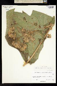 Critonia quadrangularis image