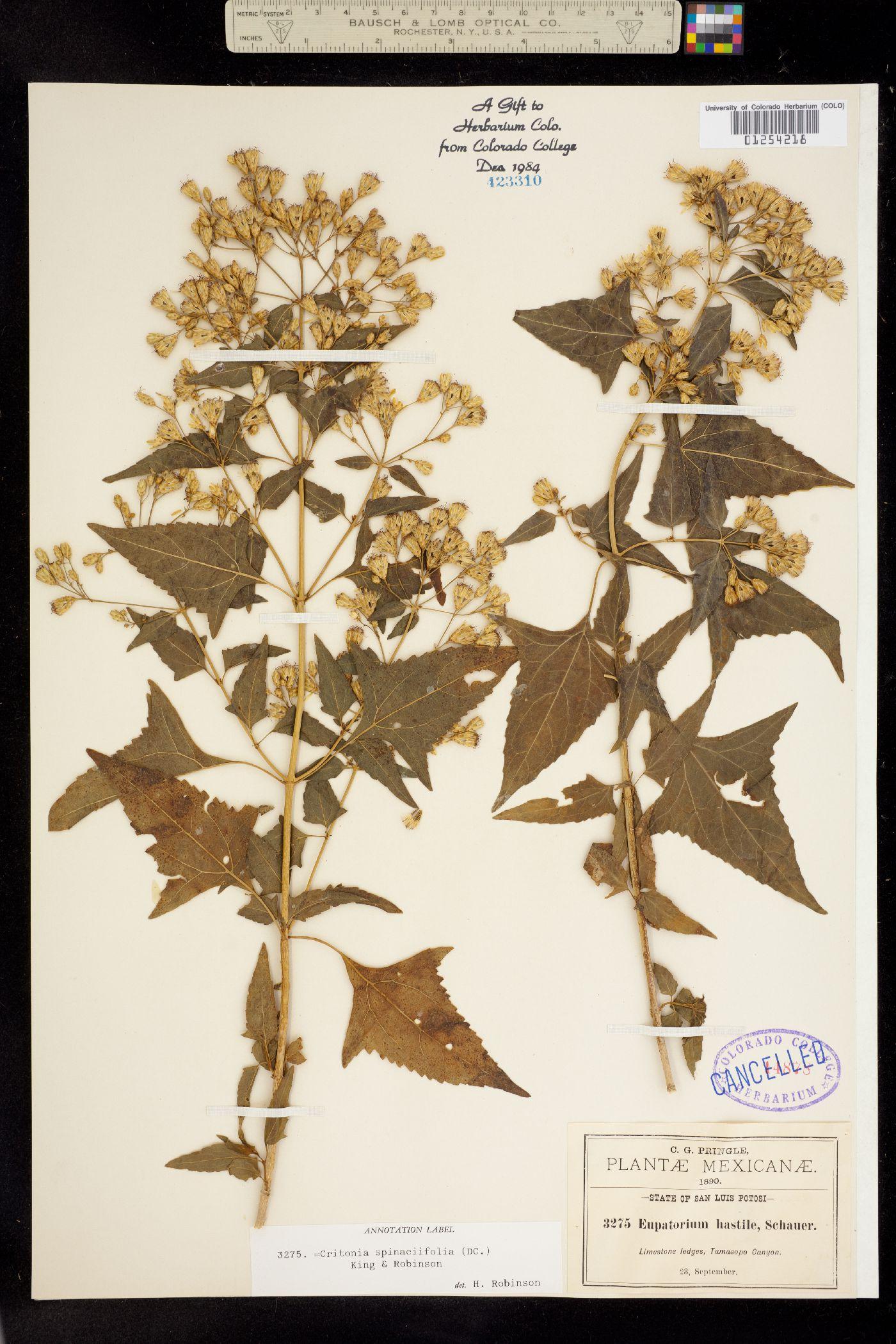Critonia spinaciifolia image
