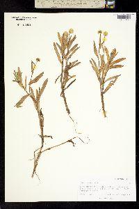 Image of Cotula coronopifolia