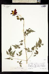 Image of Dahlia coccinea