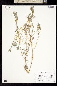 Image of Dicoria brandegei