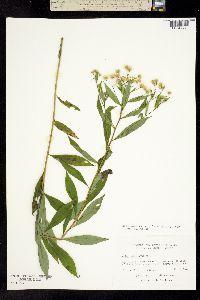 Image of Doellingeria umbellata