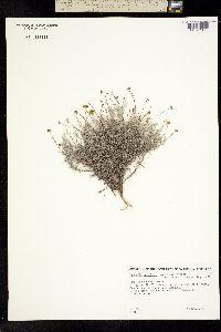 Image of Dyssodia setifolia