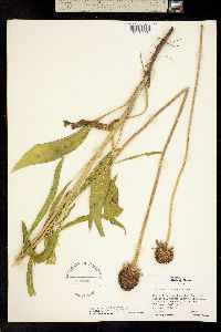 Image of Echinacea atrorubens