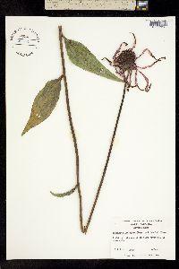 Image of Echinacea laevigata