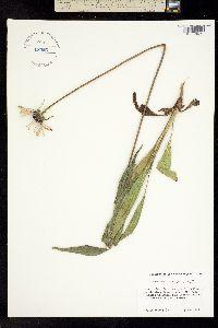 Image of Echinacea sanguinea