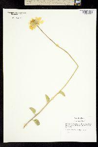 Image of Encelia actonii