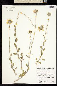 Image of Encelia californica