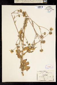 Image of Encelia mexicana