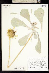 Image of Enceliopsis argophylla