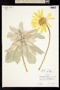 Image of Enceliopsis covillei
