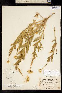 Image of Ericameria arborescens