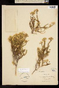 Ericameria cooperi image
