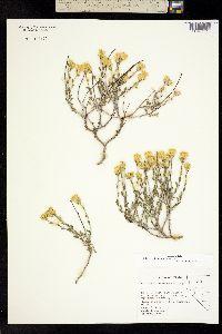 Ericameria discoidea image