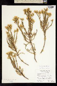 Image of Ericameria ericoides