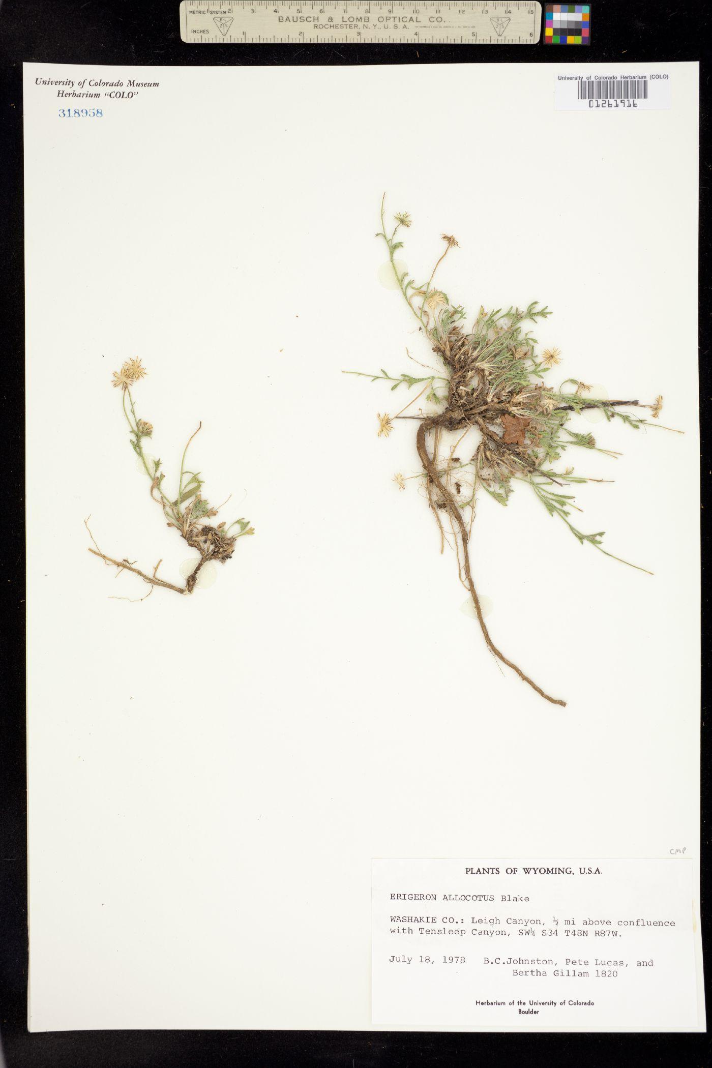 Erigeron allocotus image