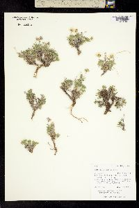 Image of Erigeron allocotus