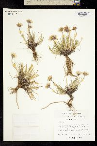 Image of Erigeron hyperboreus