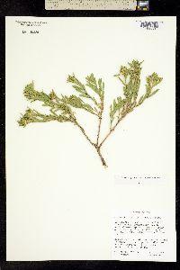 Ericameria zionis image